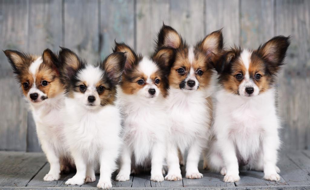 寿命 パピヨン 犬の年齢換算表|パピヨンの寿命について|子犬は成犬よりかなり早く成長します。