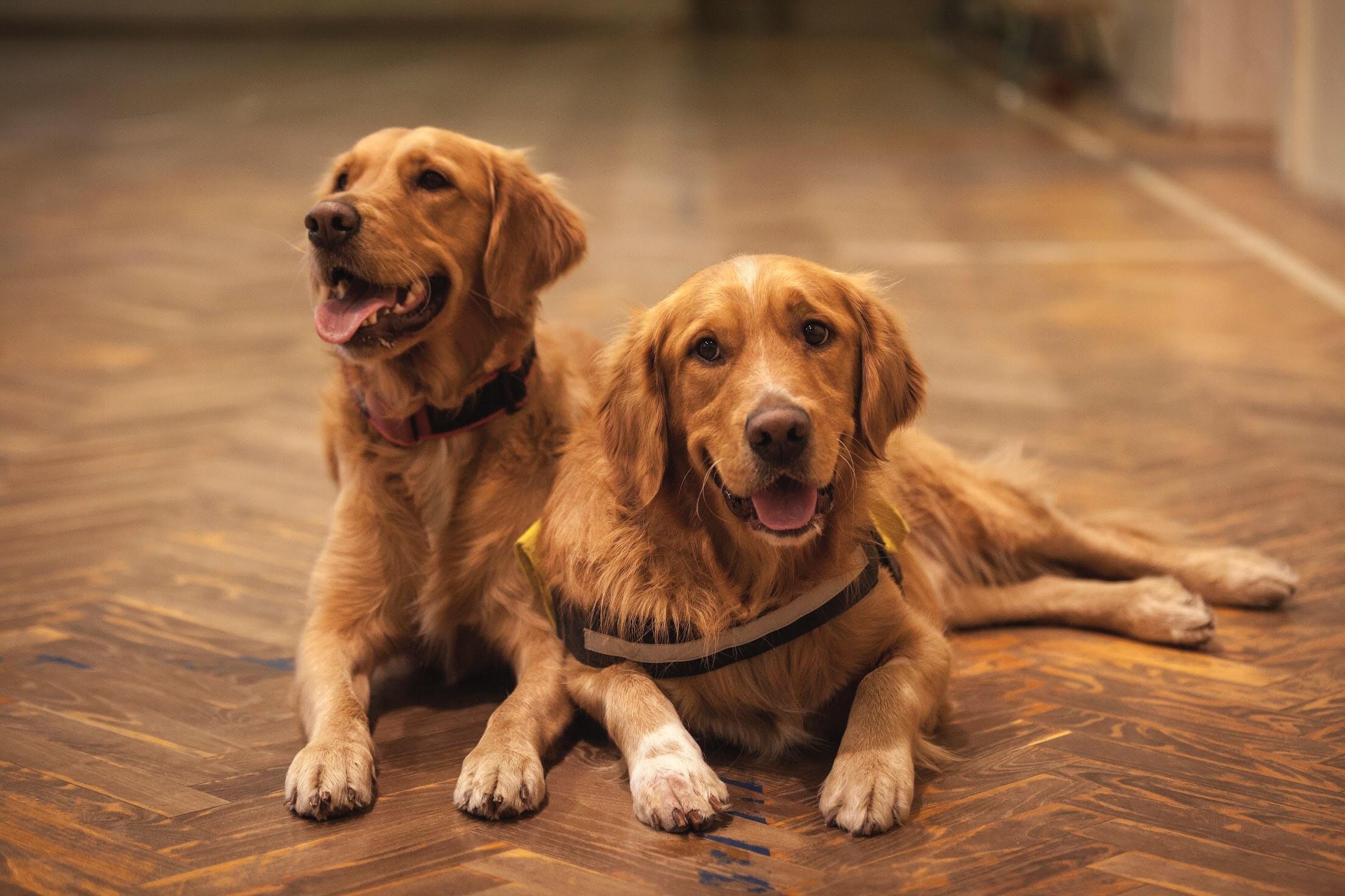 これを見ればゴールデンレトリーバーの全部が分かる!可愛い家族を大切にする飼い主のための豆知識。