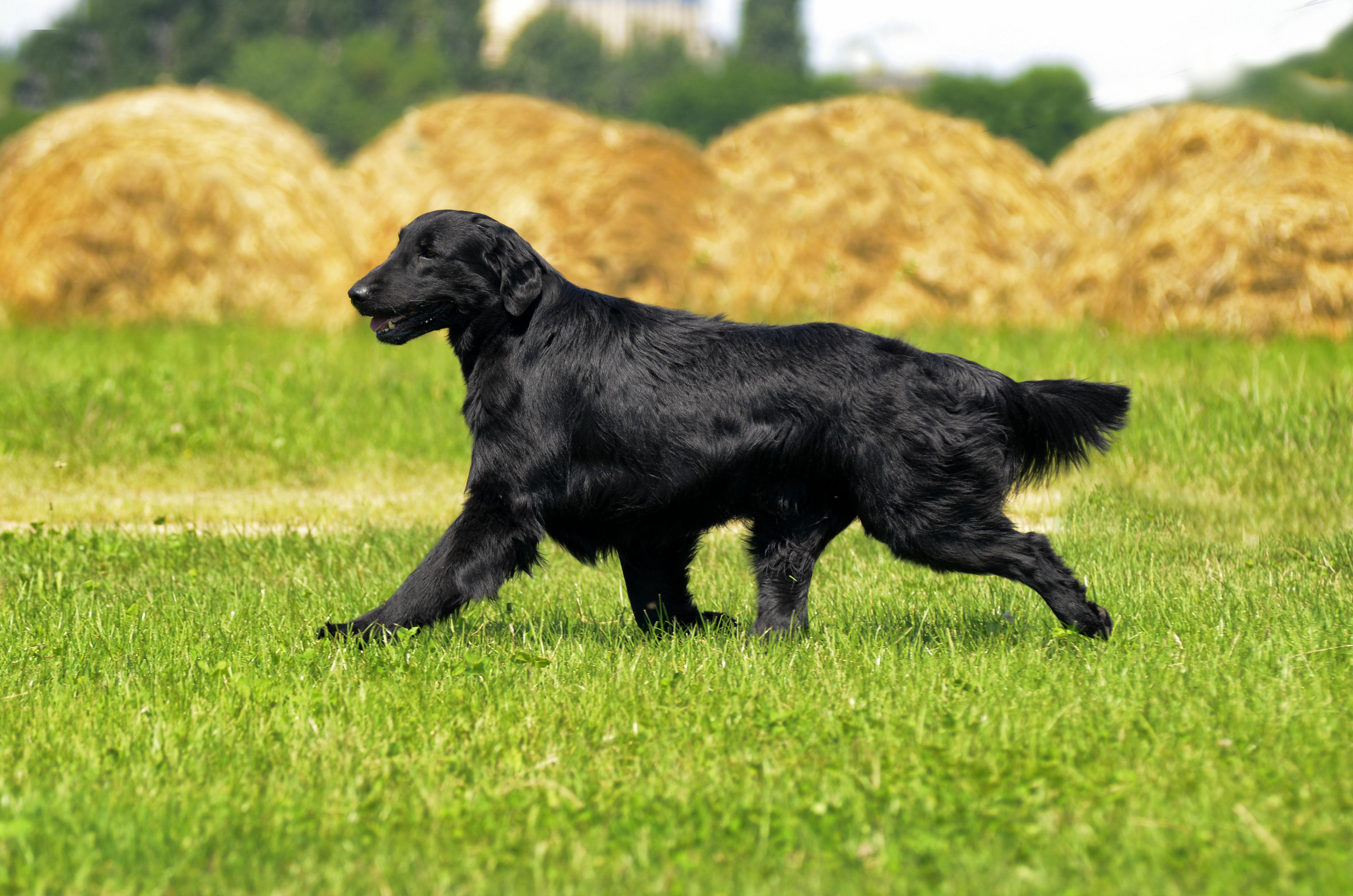これを見ればフラットコーデッドレトリーバーの全部が分かる!可愛い家族を大切にする飼い主のための豆知識。
