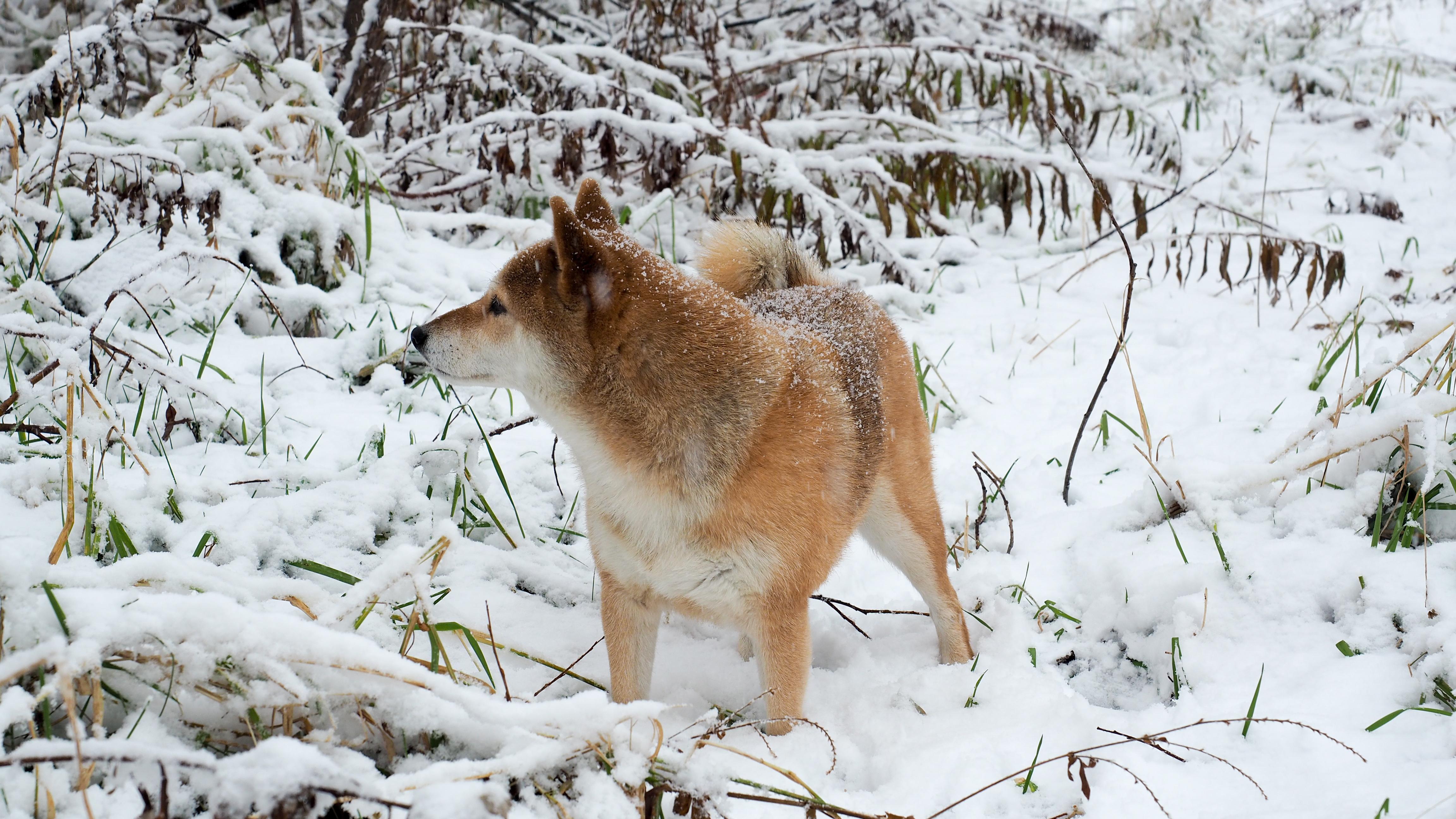 これを見れば北海道犬の全部が分かる!可愛い家族を大切にする飼い主のための豆知識。