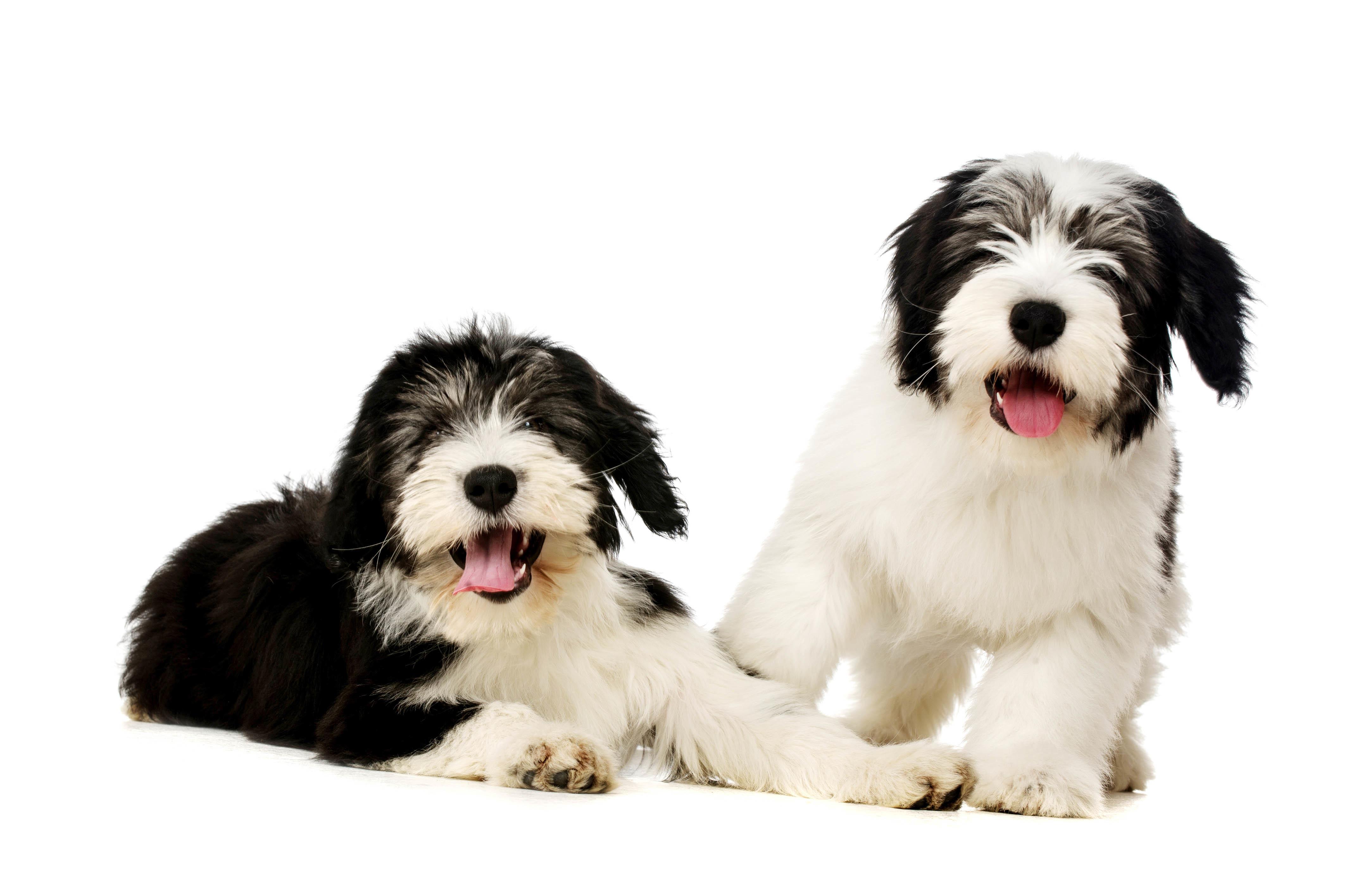 これを見ればポリッシュローランドシープドッグの全部が分かる!可愛い家族を大切にする飼い主のための豆知識。