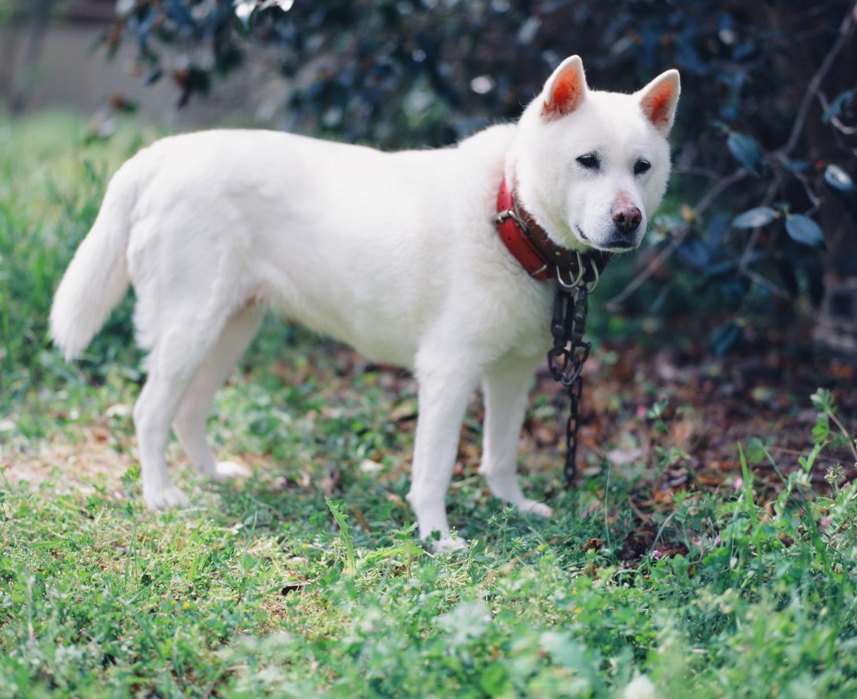 これを見れば紀州犬の全部が分かる!可愛い家族を大切にする飼い主のための豆知識。