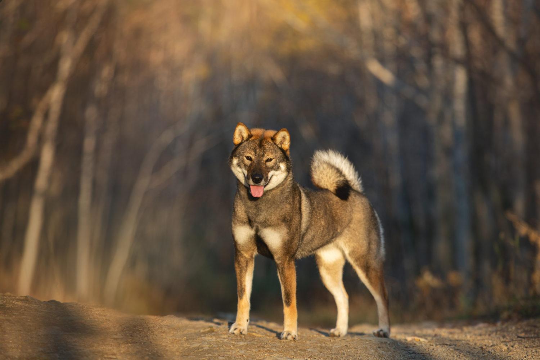 これを見れば四国犬の全部が分かる!可愛い家族を大切にする飼い主のための豆知識。