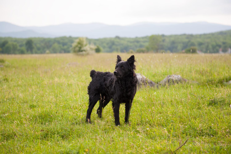 これを見ればクロアチアンシープドッグの全部が分かる!可愛い家族を大切にする飼い主のための豆知識。
