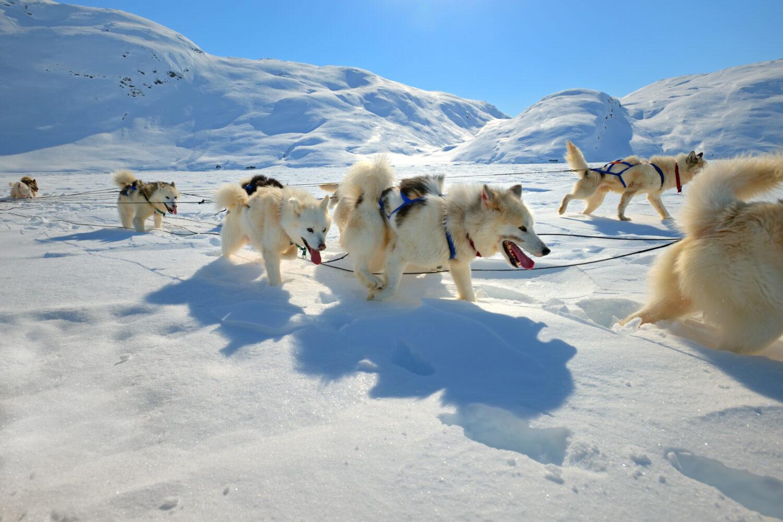 これを見ればグリーンランドドッグの全部が分かる!可愛い家族を大切にする飼い主のための豆知識。