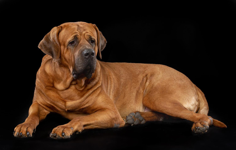 これを見れば土佐犬の全部が分かる!可愛い家族を大切にする飼い主のための豆知識。